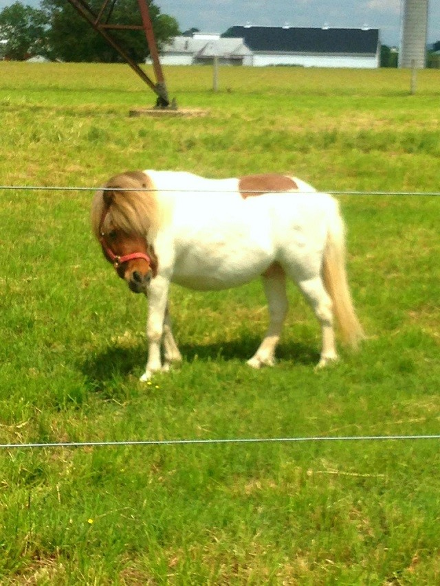miniaturehorse